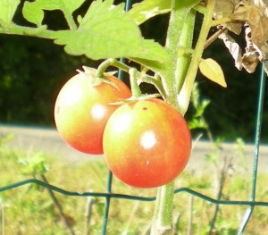 Gajo De Melon Tomate