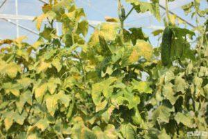 Grün und Gelb : Gurkenpflanzen