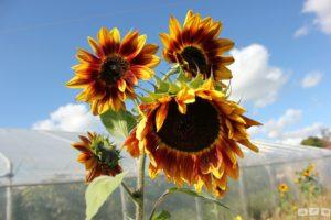 Sonnenblumen geben Freude