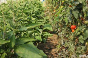 Tomaten und Auberginen im Gewächshaus