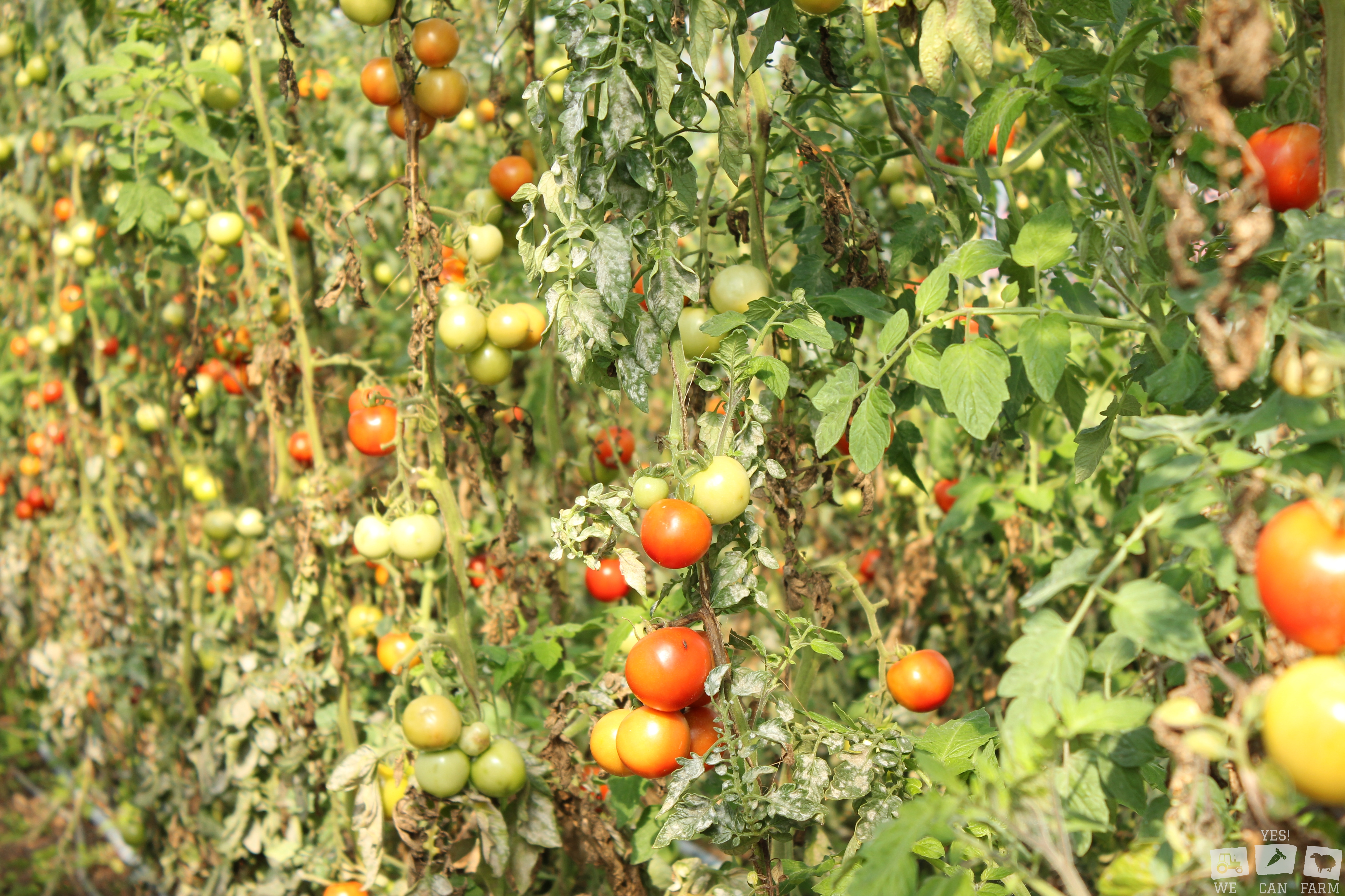 Tomaten der SolaWi Ravensburg