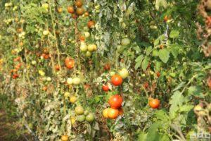 Tomaten im Herbst im Gewächshaus
