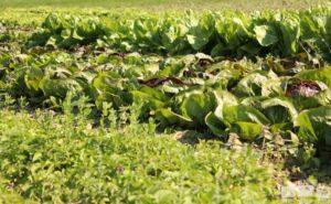 Verschiedene Salate in Reihen