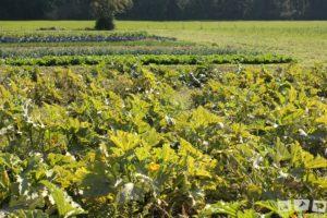 Mischkultur bei der Solidarischen Landwirtschaft
