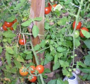 Principe Borghese Tomate