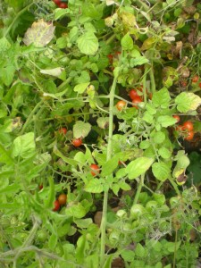 Red Currant Tomate