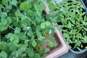 Solidarische Landwirtschaft Fischbach Urban Farming mit Microgreens