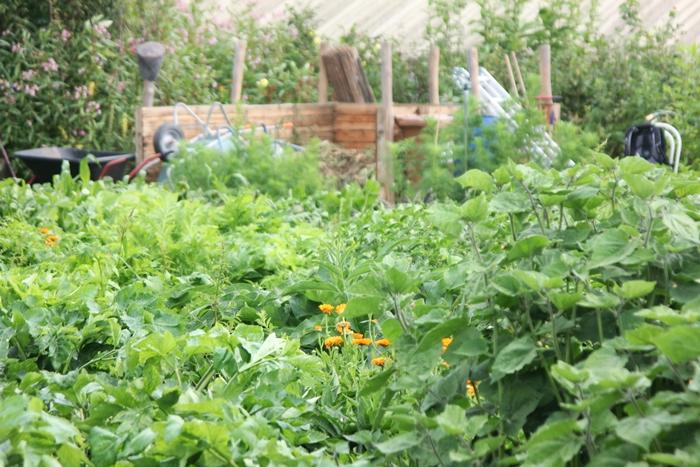 Calendula und Borretsch als Zwischenpflanzung