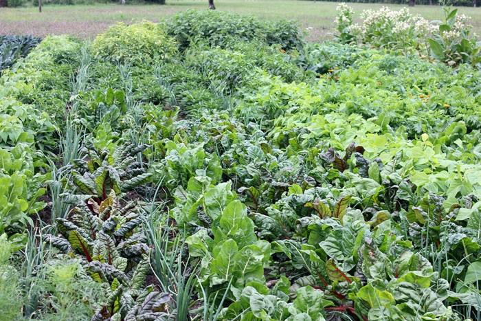 In engen Reihen wächst das Gemüse
