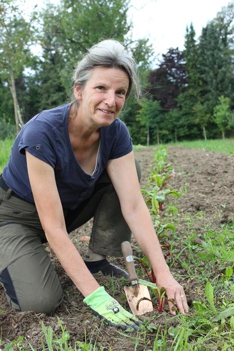 Solidarische Landwirtschaft Mangold wird gepflanzt