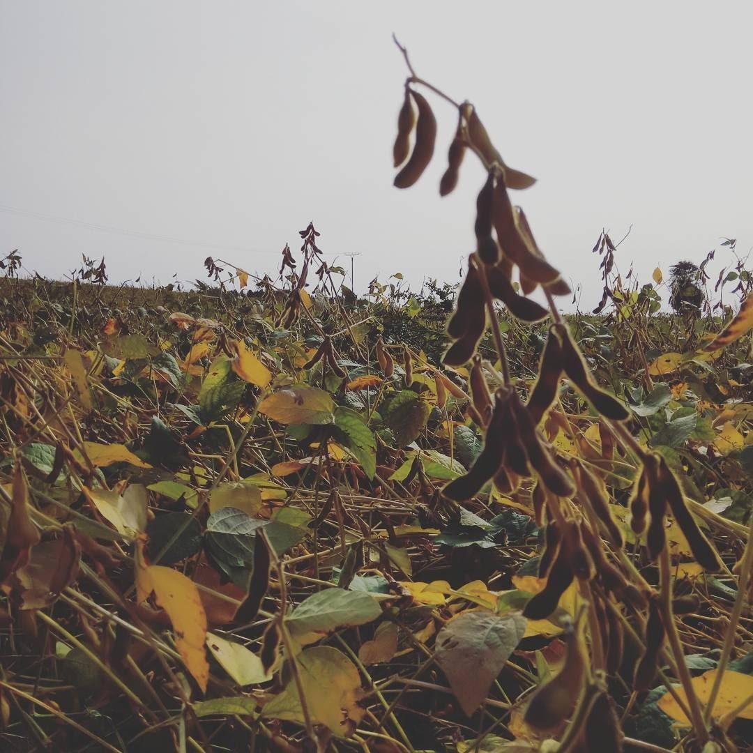 Sojabohnen im Linzgau Heimat Land Leben