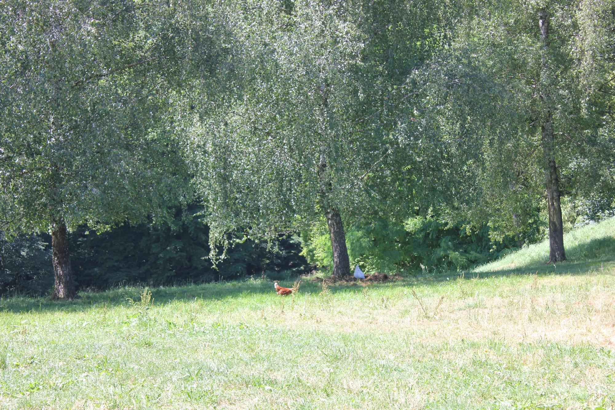 Freiheit für freilaufende Hühner, während der Mobilstall umgesetzt werden - Solidarische Hühnergemeinschaft Ravensburg
