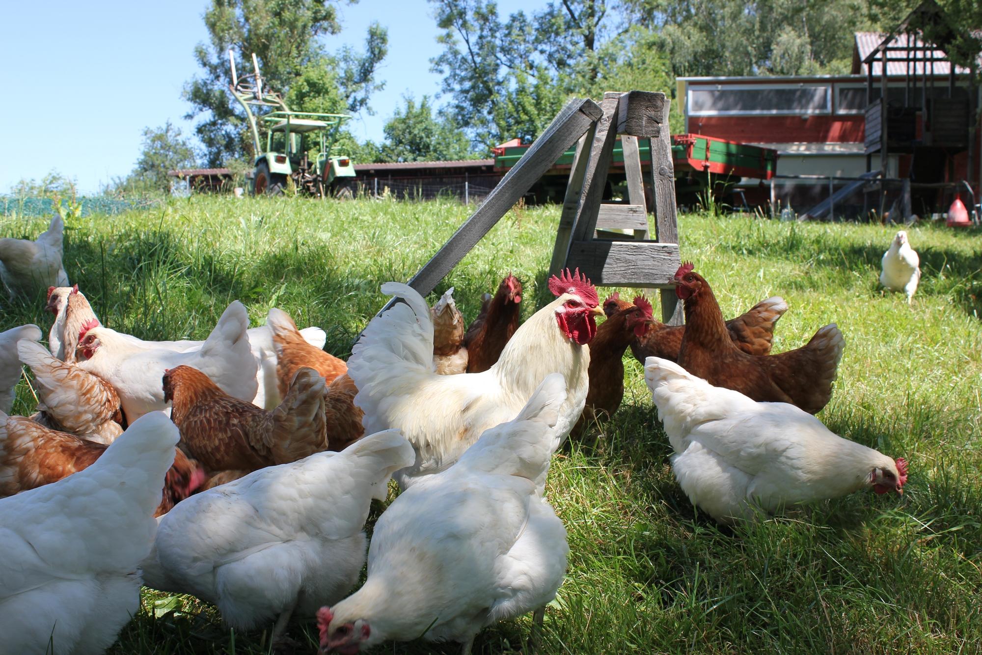 Stolze Hähne, freie Hühner - artgerechte Tierhaltung in Ravensburg