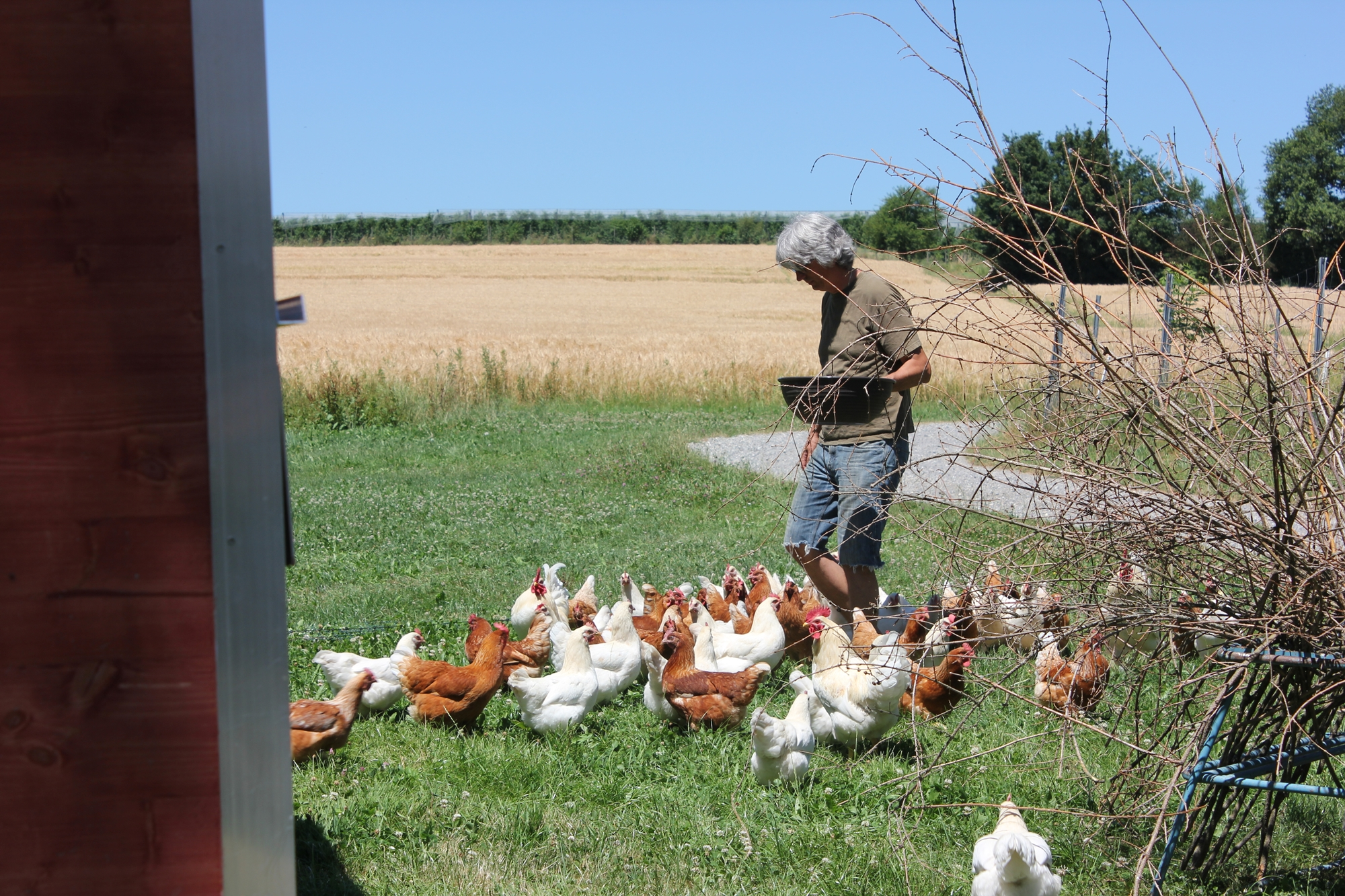 Hühner Fütterung Familienhuhn Ravensburg