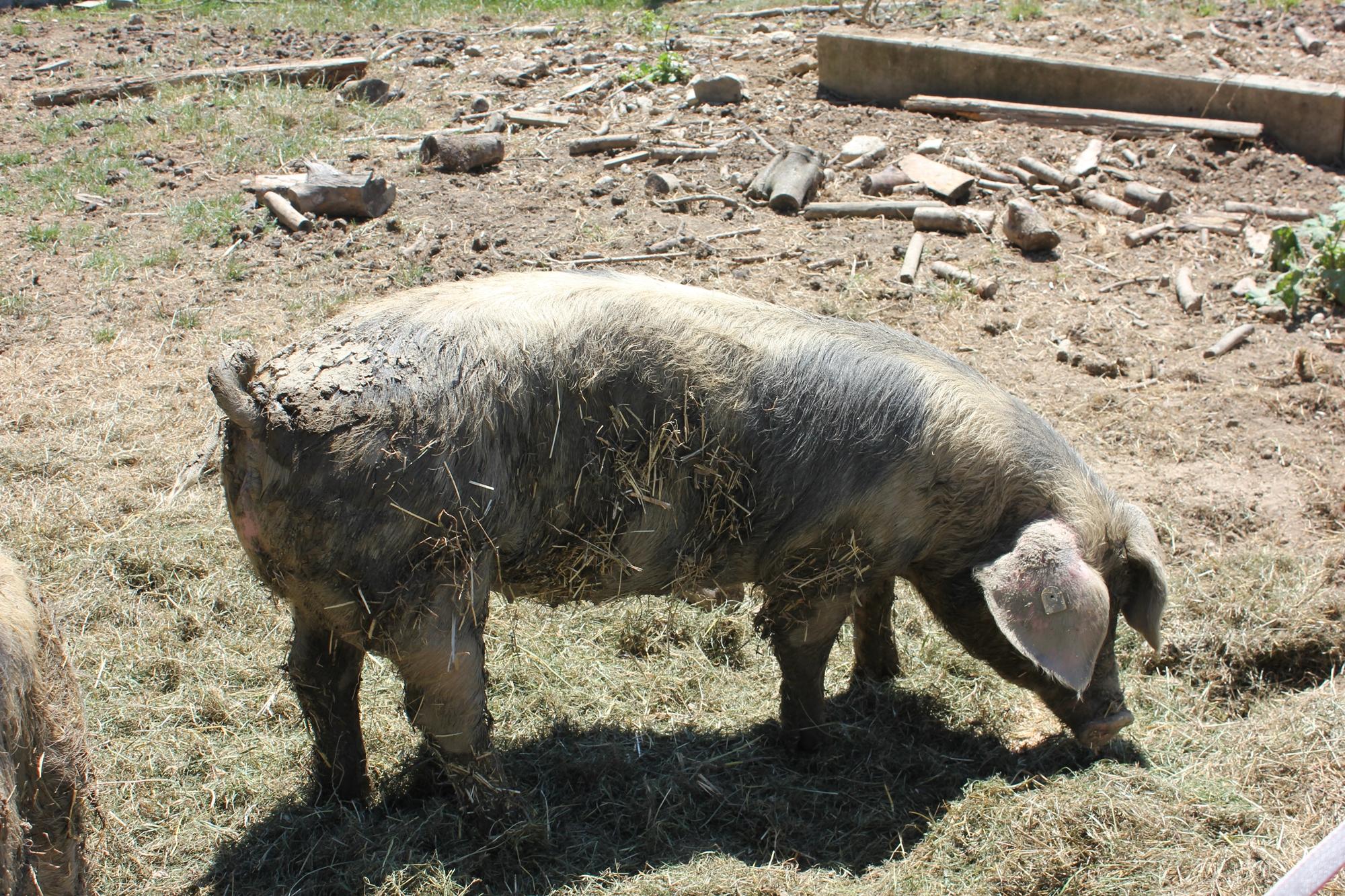 Auch Schweine werden beim Familienhuhn in Ravensburg gehalten. Natürlich artgerecht!